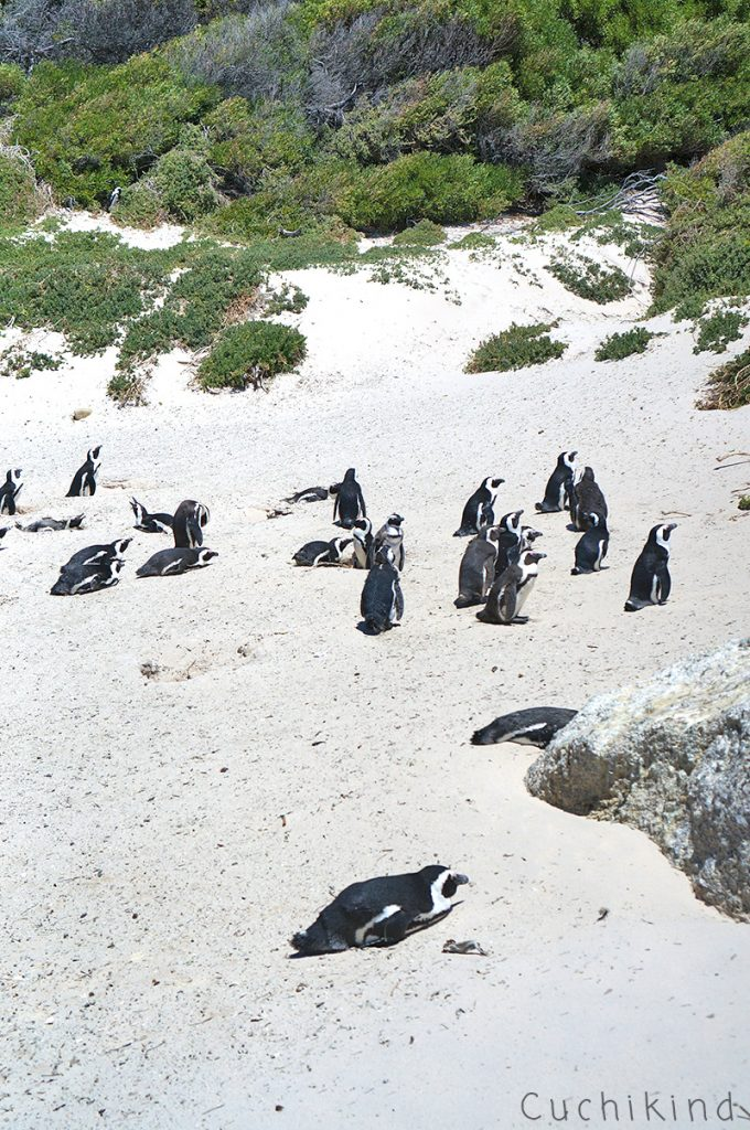 Pinguine_Südafrika
